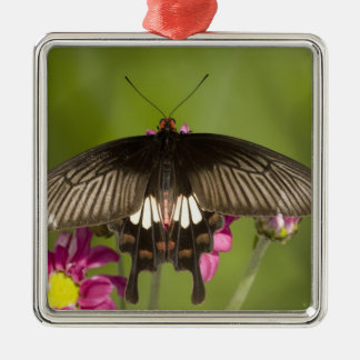 SE Asia, Thailand, Doi Inthanon, Papilio polytes Christmas Ornament