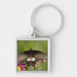 SE Asia, Thailand, Doi Inthanon, Papilio polytes Key Ring