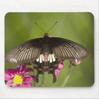 SE Asia, Thailand, Doi Inthanon, Papilio polytes Mouse Mat