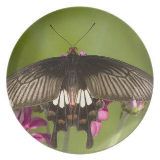 SE Asia, Thailand, Doi Inthanon, Papilio polytes Plate