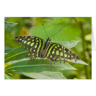 SE Asia, Thailand, Tailed Jay Butterfly Card