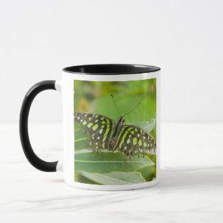 SE Asia, Thailand, Tailed Jay Butterfly Mug