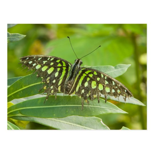 SE Asia, Thailand, Tailed Jay Butterfly Postcard