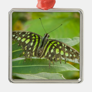 SE Asia, Thailand, Tailed Jay Butterfly Silver-Colored Square Decoration