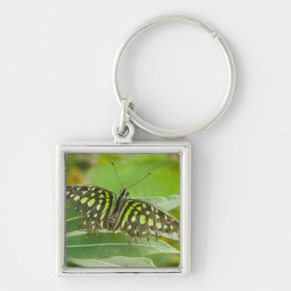 SE Asia, Thailand, Tailed Jay Butterfly Silver-Colored Square Key Ring