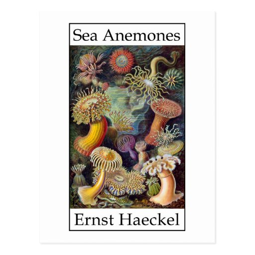 Sea Anemones by Ernst Haeckel Post Cards