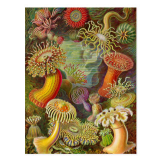 Sea Anemones Vintage Illustration Postcard