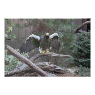 Sea Eagle Spreading Its Wings Poster