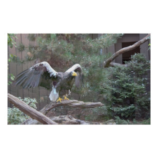 Sea Eagle with Its Wings Spread Poster