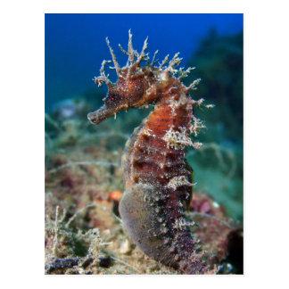 Sea Horse | Hippocampus Ramulosus Postcard