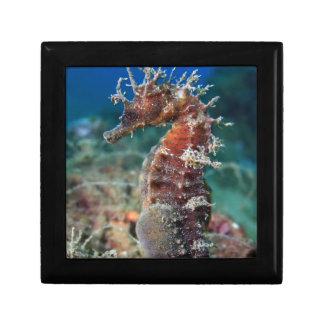 Sea Horse   Hippocampus Ramulosus Small Square Gift Box