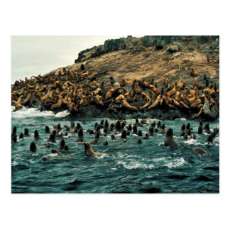 Sea Lion Group at Haulout Postcard