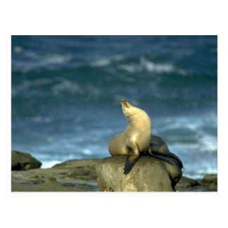 Sea Lion On Rock Postcard