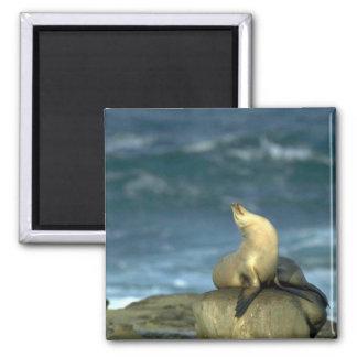 Sea Lion On Rock Refrigerator Magnet