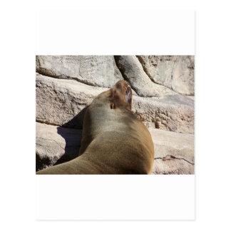 Sea Lion Postcard