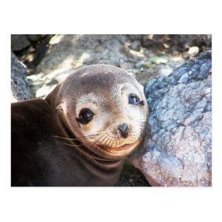 Sea lion pup, Isla Las Plazas, Galapagos Postcard