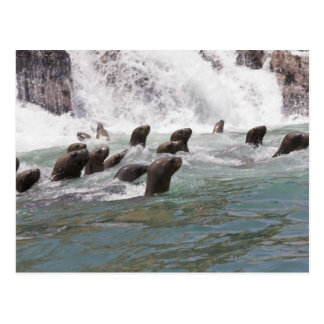 Sea lions attracted into the water to watch postcard