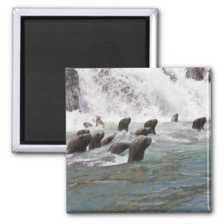Sea lions attracted into the water to watch square magnet