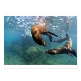 Sea lions playing in lagoon Galapagos Islands Postcard
