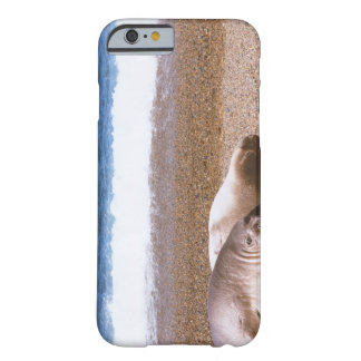 Sea Lions Resting on Beach Barely There iPhone 6 Case