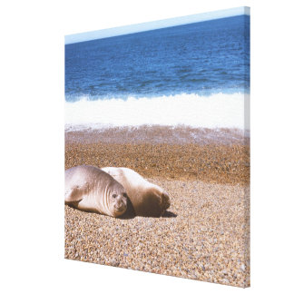 Sea Lions Resting on Beach Stretched Canvas Prints