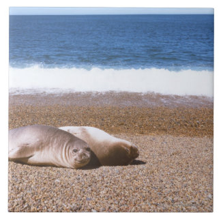 Sea Lions Resting on Beach Tile