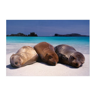 Sea Lions Sleeping On Beach | Ecuador Acrylic Wall Art