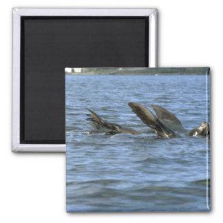 Sea Lions Swimming On Backs Magnet