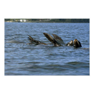 Sea Lions Swimming On Backs Poster