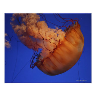 Sea nettle jellyfish posters