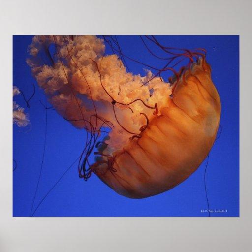 Sea nettle jellyfish posters