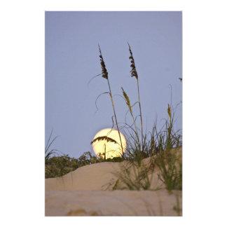 Sea Oats Uniola paniculata) growing on sand Photograph