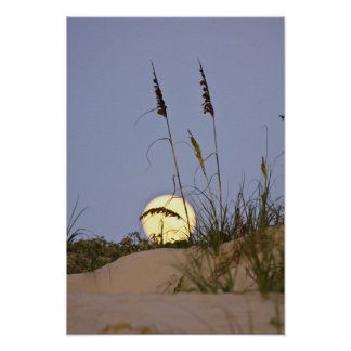 Sea Oats Uniola paniculata) growing on sand Poster