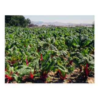 Sea of Organic Red Chard Postcard