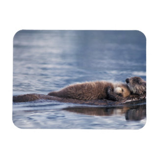 sea otter, Enhydra lutris lutris, mother with 2 Magnet