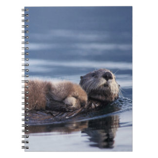 sea otter, Enhydra lutris lutris, mother with Notebook