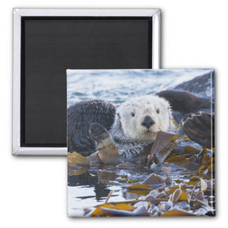 Sea otter wrapped in kelp magnet