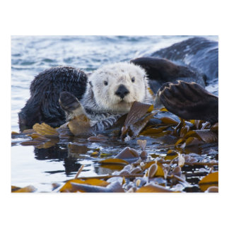 Sea otter wrapped in kelp post card