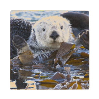 Sea otter wrapped in kelp wood coaster