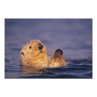 Sea Otters, Enhydra lutris 2 Photo Print