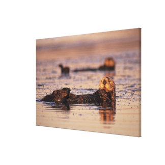 Sea Otters, Enhydra lutris 3 Gallery Wrapped Canvas