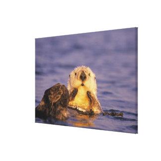 Sea Otters, Enhydra lutris 5 Canvas Print