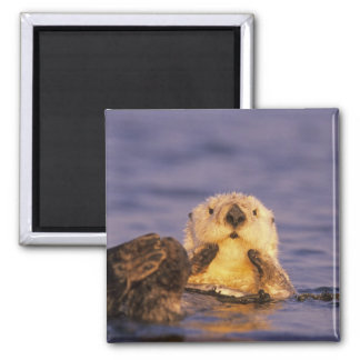 Sea Otters, Enhydra lutris 5 Square Magnet