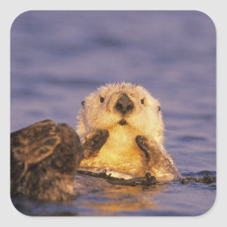 Sea Otters, Enhydra lutris 5 Square Sticker