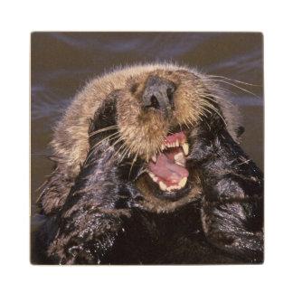 Sea Otters, Enhydra lutris 6 Maple Wood Coaster