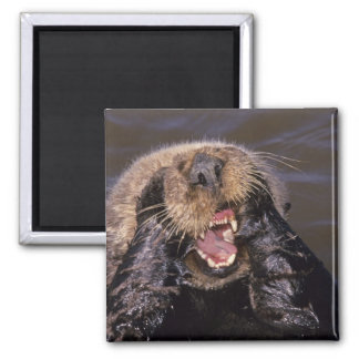 Sea Otters, Enhydra lutris 6 Square Magnet