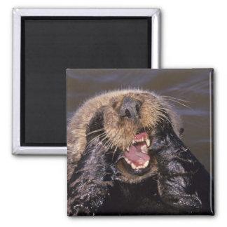 Sea Otters, Enhydra lutris 6 Square Magnet