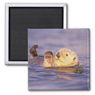 Sea Otters, Enhydra lutris Magnet