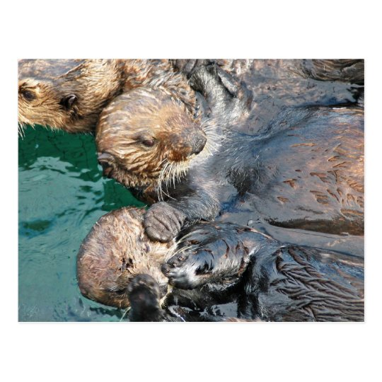 Sea Otters in Capture Pens Postcard