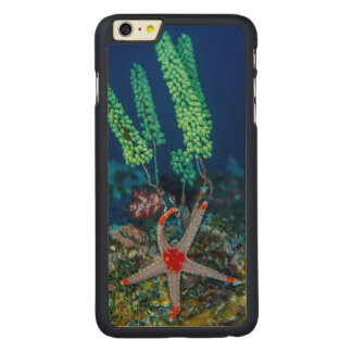 Sea Star and Tunicate Carved Maple iPhone 6 Plus Case